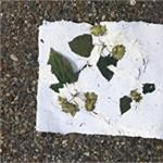 Crafts and Drafts: Papermaking From Hops